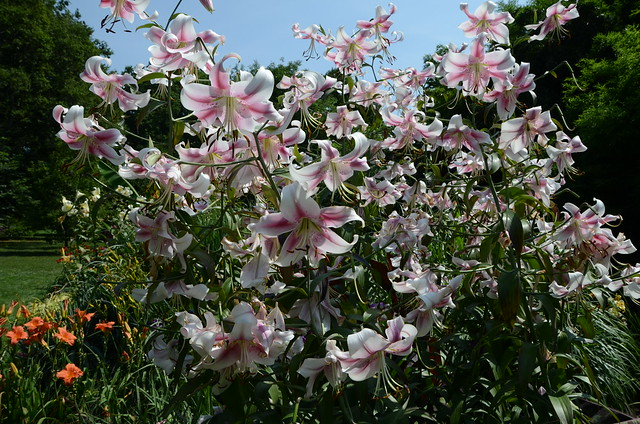 Lilium 'Anastasia' in the Monocot Border of BBG's Plant Family Collection. Photo by Jean-Marc Grambert.