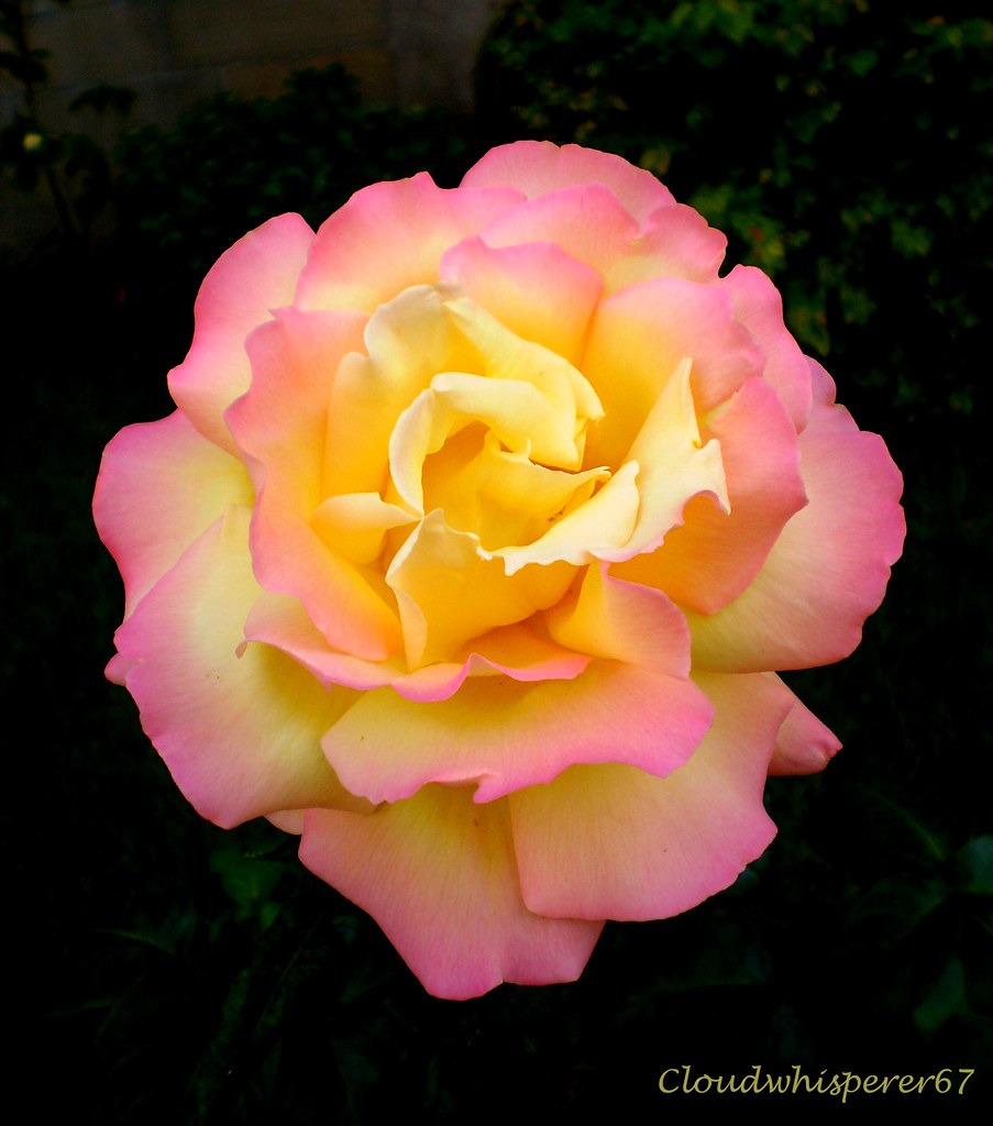 Like a Delicate Sunset: Let's Dive Into the Dawn Rose