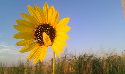 Giggling, the sunflower modestly covered her lips with a petal.