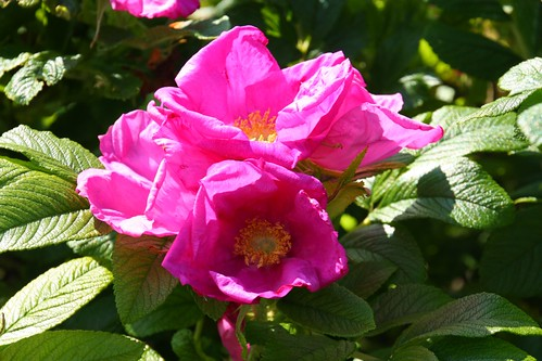 Rugosa Rose at David Austin Gardens