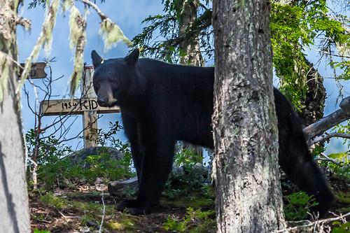 Black Bear crossing; copyright 2012: Georg Berg