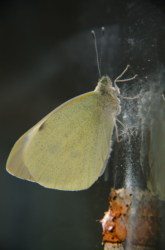 Pieris Brassicae fresh