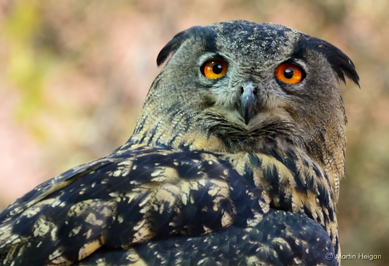 Cape Eagle Owl Portrait