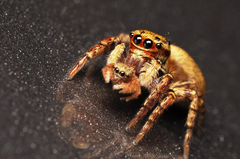 Cute jumping spider - photo#24