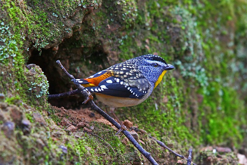 Spotted Pardalote (Male) (0071) Sm
