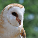 Barn Owl by Richard Wintle