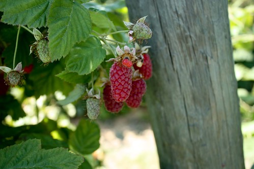 Loganberry Picking