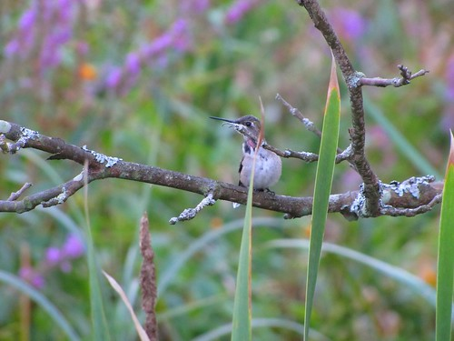 IMG_5450_Hummingbird_at_Beaver_Marsh