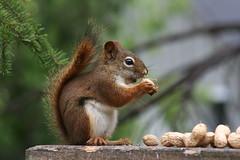 [フリー画像素材] 動物 1, 栗鼠・リス ID:201208261000