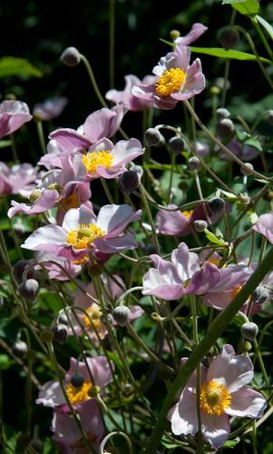 Anemone tomentosa 'Robustissima' LG 8-16-12 2611 lo-res