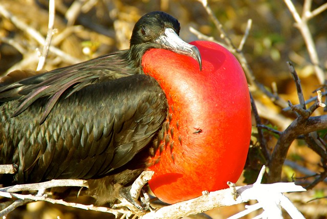 frigatebird-galapagos-red-balloon