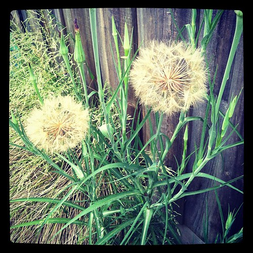 Spectacular giant weeds. The balls are about the size of my fist.