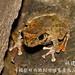 林建鳴_褐樹蛙1