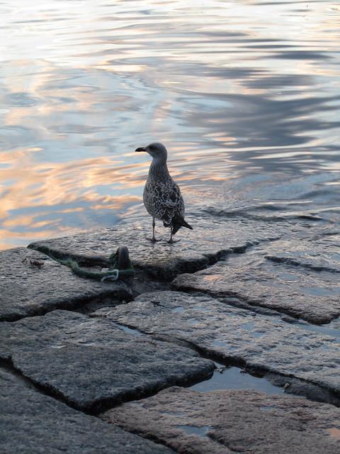 A seagull I saw