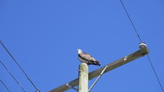 Video - Florida: Osprey calls from Pole
