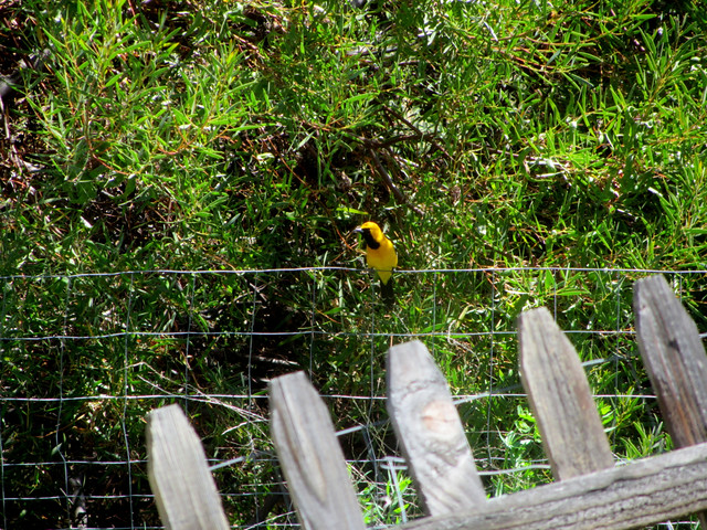 hello again, bullocks oriole
