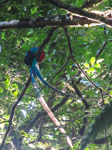 La Réserve de Monteverde: un Quetzal Resplendissant mâle. Très rare en captivité, la journée commence bien ! ;)