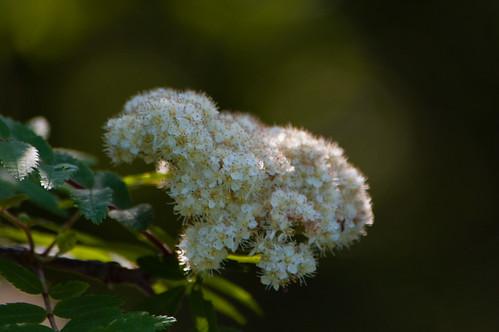 White: rowan flower