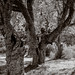 100 Year Old Apple Trees by Wet Possum