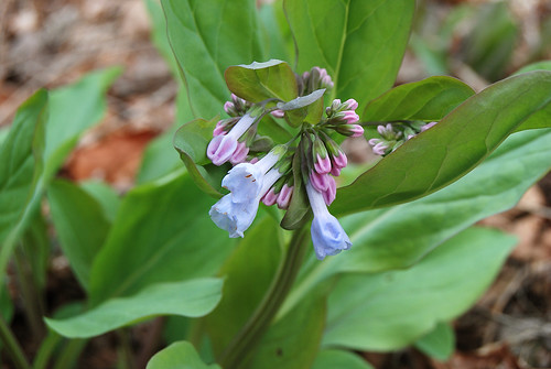 Picture of Virginia Bluebells (Mertensia virginica), a spring ephemeral wildflower found in the Ozarks.