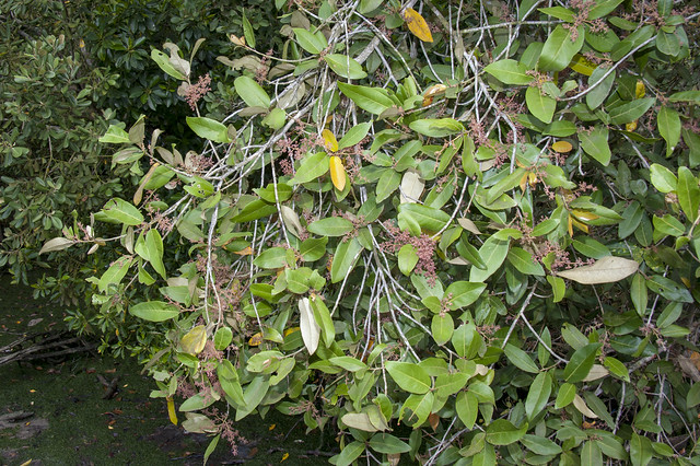 Dungun (Heritiera littoralis) flowers