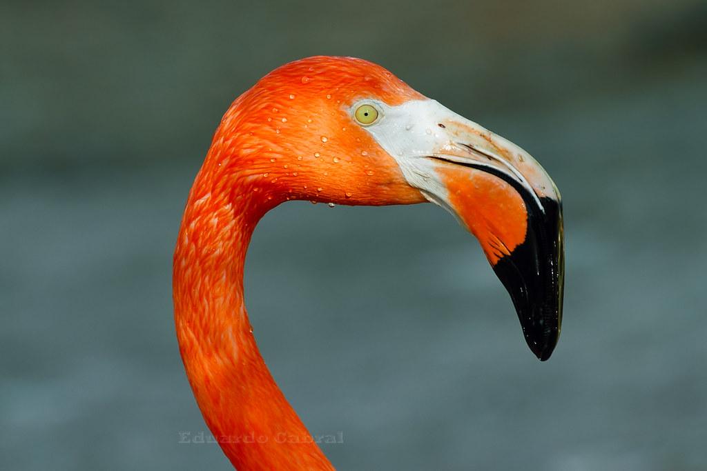 o es el pelicano que m...