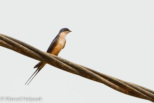 birds swallows cameroon littoral swallowsandmartins rufouschestedswallow hirundosemirufa cecropissemirufa