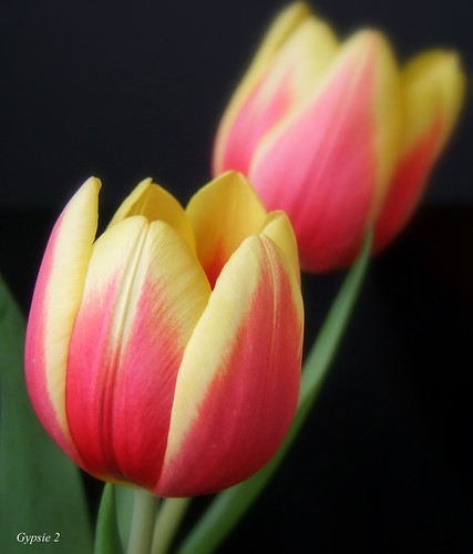 Tulip's Elegance by gypsie2 ~