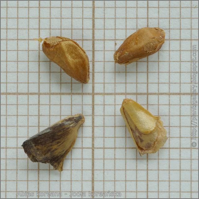 Abies koreana seeds - Jodła koreańska nasiona