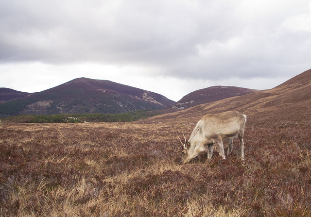 reindeer wide angle