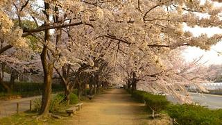 後楽園の外周の桜。 2012.4.10