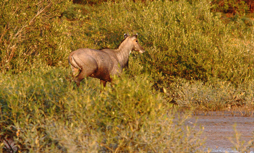 Neelgai_in_jamnagar crop