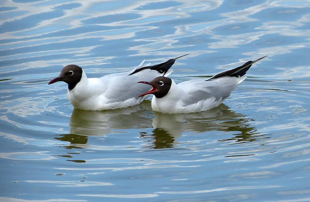 26933 - Black Headed Gulls, Llanelli WWT