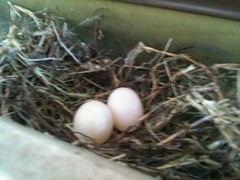 A pair of doves nesting in my gutters