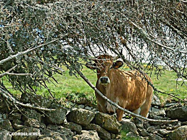 vache à l'ombre lors d'une journée de canicule en juin 2003 météopassion