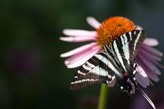 Zebra Swallowtail / Eurytides Marcellus [6.16.12]