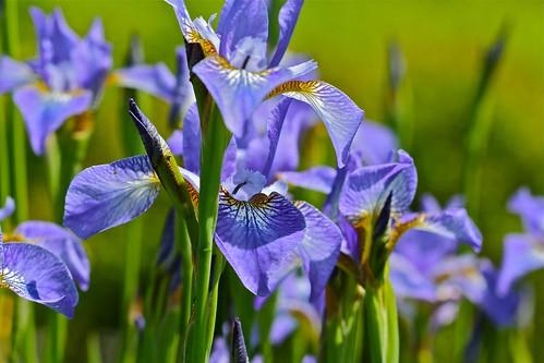 Iris in the Memorial Garden