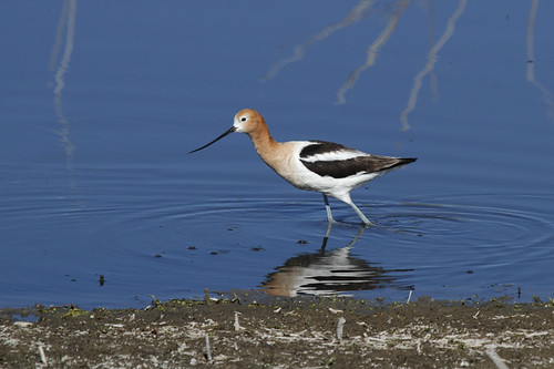American Avocet in breeding plumage.....1 of 3 in set