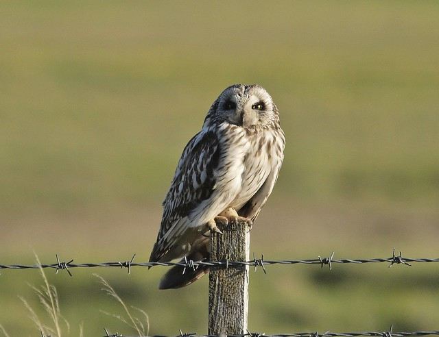 Short-eared Owl 12 (brandugla), Olympus E-3, Sigma APO 50-500mm F4.0-6.3 EX DG HSM