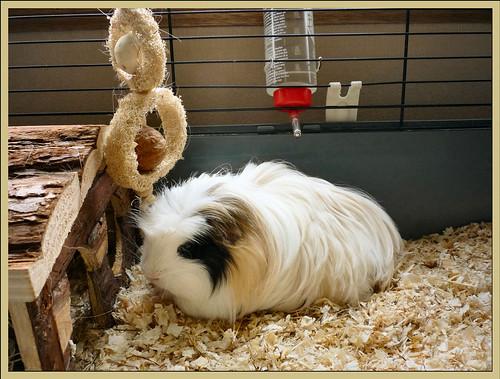 Guinea Pig....Fluffy
