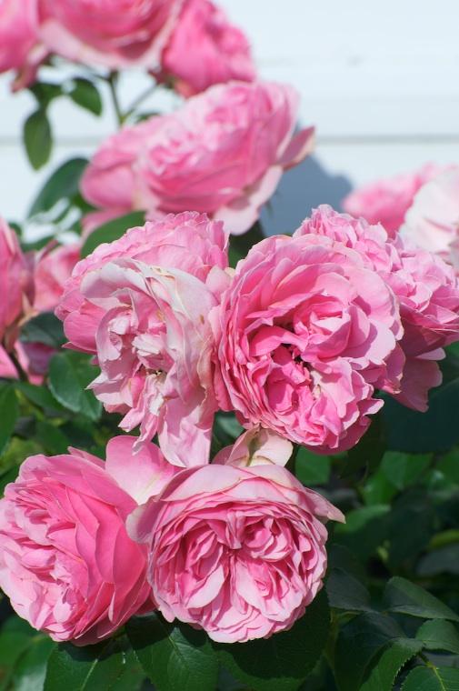 pink roses up close