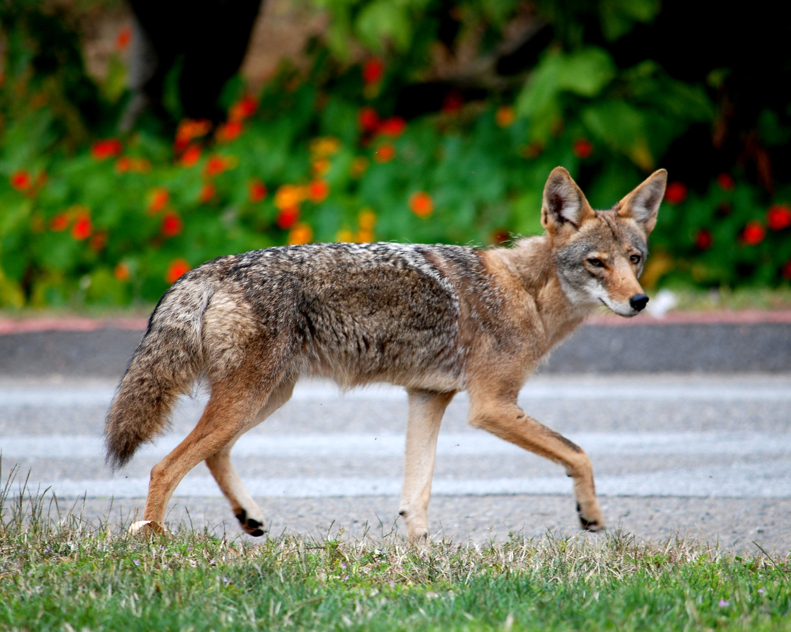 photo of coyote in San Francisco