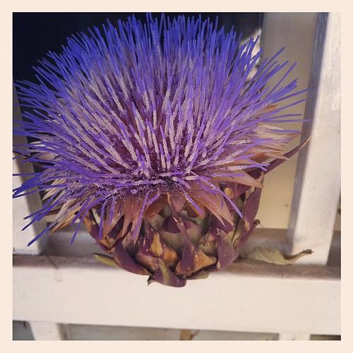 Artichoke flower:)) Fiore di carciofo:))