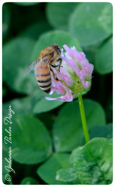 Bee-on-Clover-Bloom