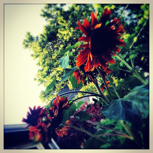 On my walk home #sunflowergram