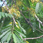 Cananga odorata leaf and flower