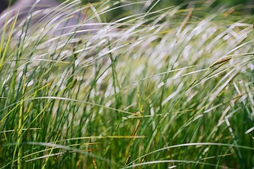 plants ontario canada slr film nature grass dof kodak bokeh olympus shore 35mmfilm wetlands grasses marsh om1 northernontario northchannel shallowdepthoffield stjosephisland profoto100 richardslanding 50mmf35macro zuikomacro matthewsisland profotoxl