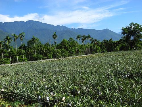 位於花蓮縣瑞穗鄉的富興社區以生產鳳梨著稱,也是全國生產「旺旺來」鳳梨花的最大產地。攝影:廖香璞。