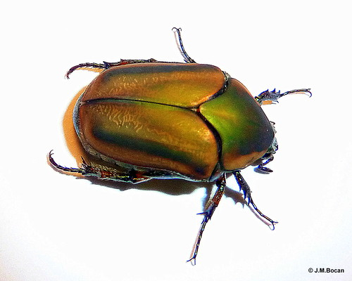 bug insect beetle insects coleoptera insecta greenjunebeetle cotinisnitida beetlecloseup