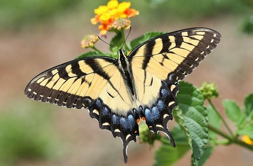 blue orange black yellow female butterfly northcarolina lantana swallowtail tigerswallowtail richmondcounty papilioglaucus yellowmorph dorsalview eyespot abigfave